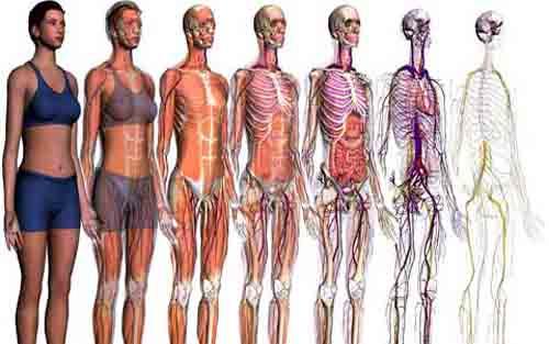 ساختمان بدن انسان ساختمان جسمانی بدن