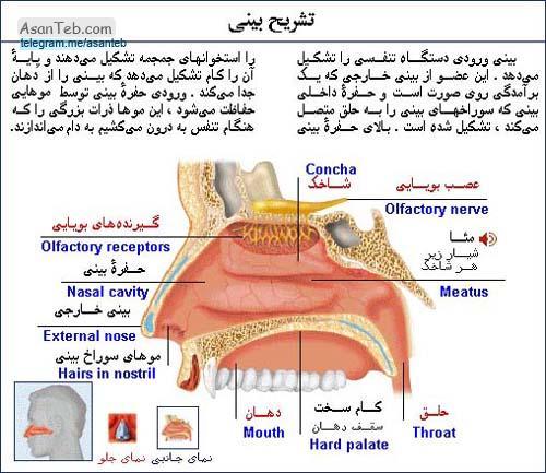 آناتومی بینی