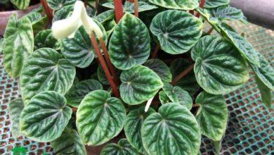 گیاه پرومیا