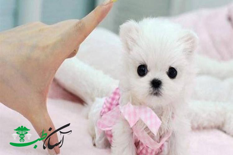 معرفی پانزده نوع سگ کوچک معروف به سگهای جیبی