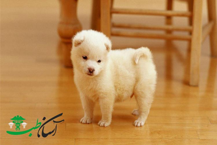 معرفی 15 نوع از سگهای کوچک معروف به سگهای جیبی2