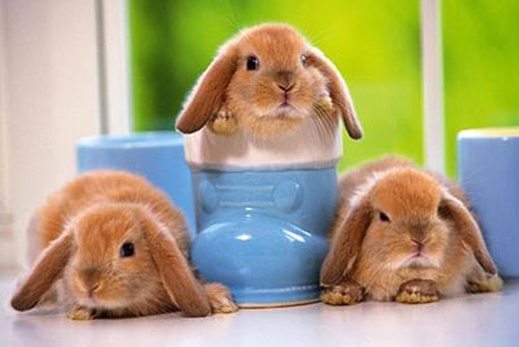اکثر صاحبان خرگوش بعلت کمبود اطلاعات در شیوه, مراقبت ونگهداری صحیح ازانواع خرگوش خانگی (آناتومی,تغذیه,رژیم غذایی ,تولید مثل و...),دچار مشکلاتی می شوند.