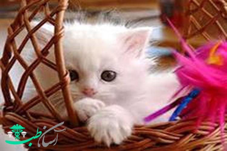 گربه راگمافن نژاد بانمک ، ملوس و آپارتمان نشین گربه ها!