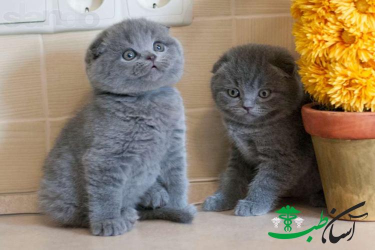 معرفی نژاد گربه اسکاتیش فولد و آنفولد و روش نگهداری از آنها