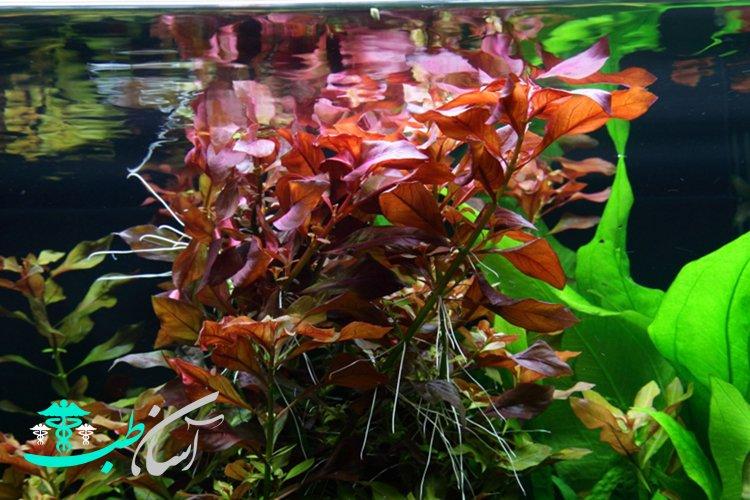 8 نوع از تاثیرات گیاهان آکواریومی در آکواریوم