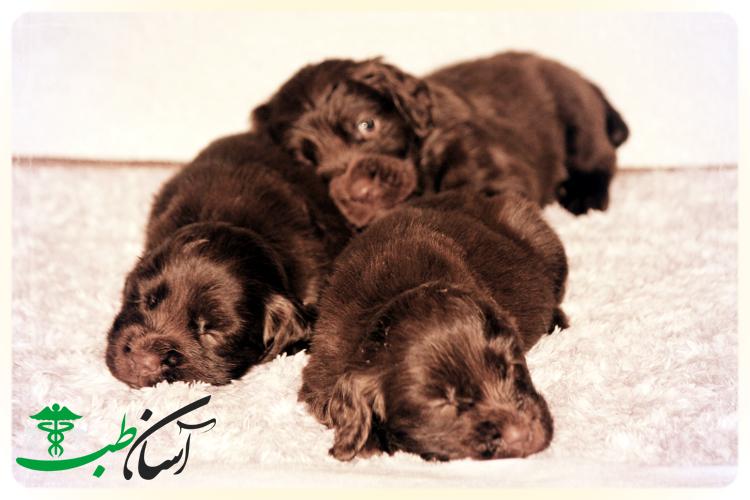 4 نوع بیماری شایع در سگ ساسکس اسپانیل