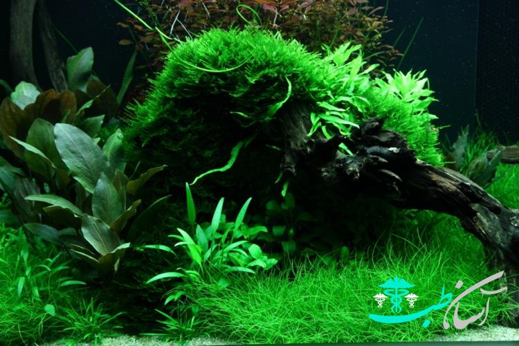 گیاهان آبزی : کریپتوکوریون پروا