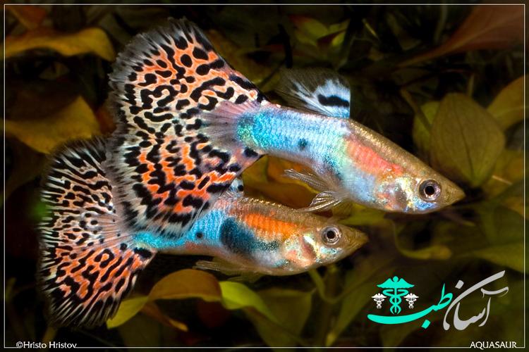 بیماری گوپی ماهی های آکواریومی بر اثر انواع مسمومیت - آسان طب