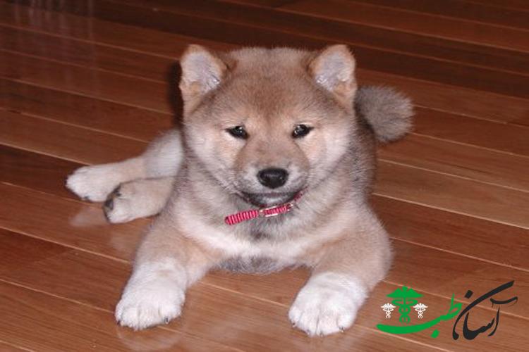 معرفی نژاد سگ های شیبا اینو و خصوصیات آنها