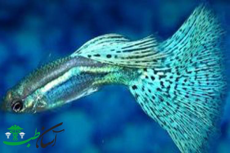 تکثیر تجاری و روش های پرورش ماهی های آکواریومی گوپی