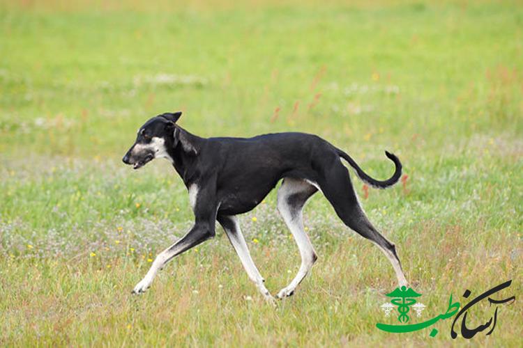 سگ اسلوقی ، آشنایی و روش نگهداری از آن