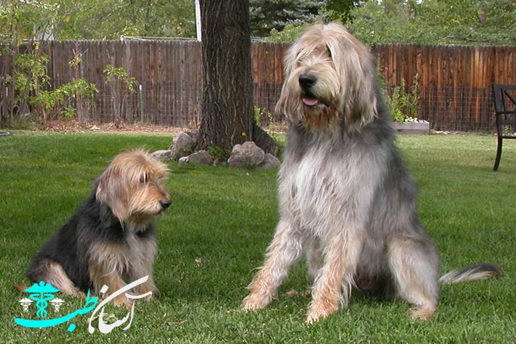بیماری های رایج در میان سگ های نژاد اوترهوند