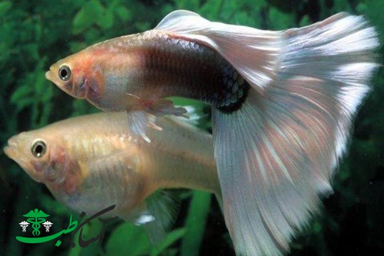 بیماری های قارچی ماهی های گوپی