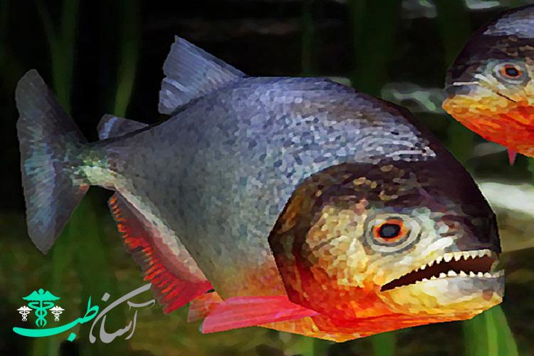 ماهی پیرانا یا پیرانای شکم سرخ،ماهی گوشتخوار آب شیرین