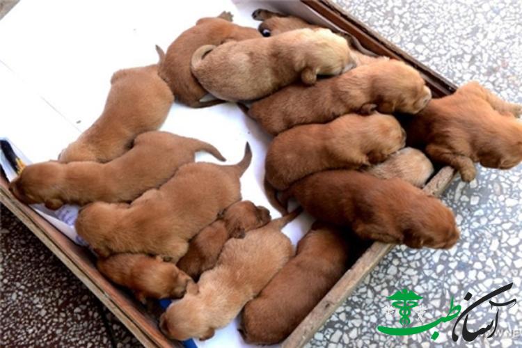مراقبت های پس از بارداری و زایمان سگ ها