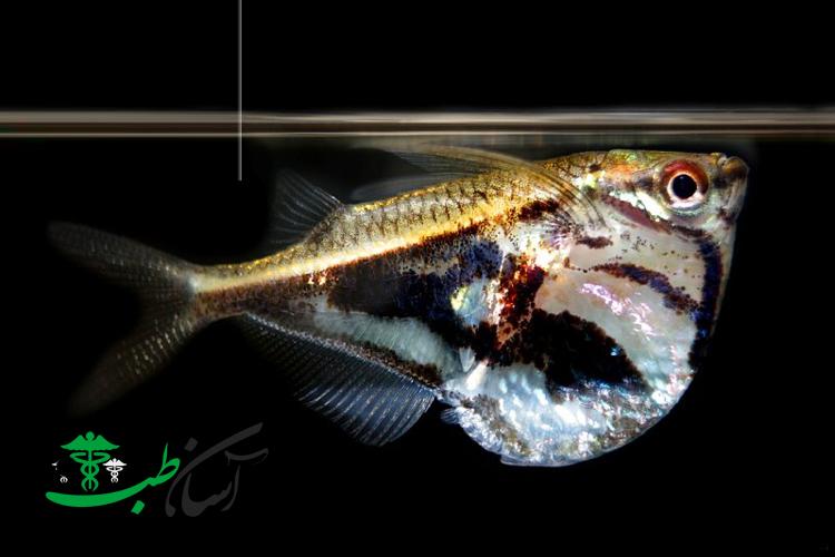 ماهی تبرزینی ، نگهداری از ماهی تبرزینی آکواریومی ترسو و رژیم غذایی آن - آسان طب