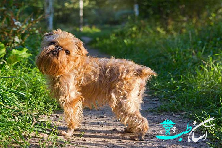 نژاد سگ بروکسل گریفون