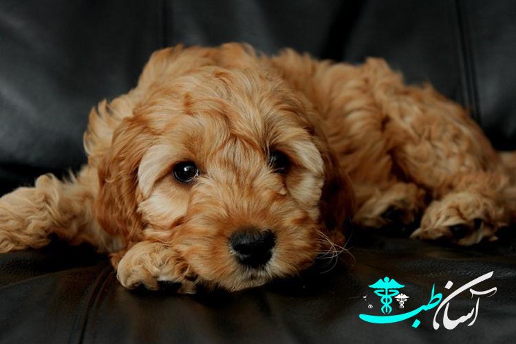 سگ های همه کاره کوکاپو ،آشنایی با آنها و خصوصیات برجسته آنها - آسان طب