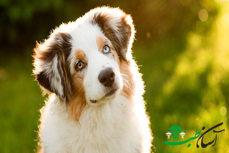 وسواس فکری در سگ های نژاد کوچک تا بزرگ ، دلایل و روش درمان آنها - آسان طب