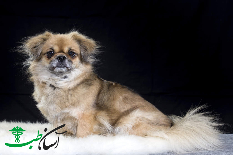 سگ تیبتان اسپانیل و روش صحیح مراقبت و نگهداری از آن سگ های کوچک - آسان طب