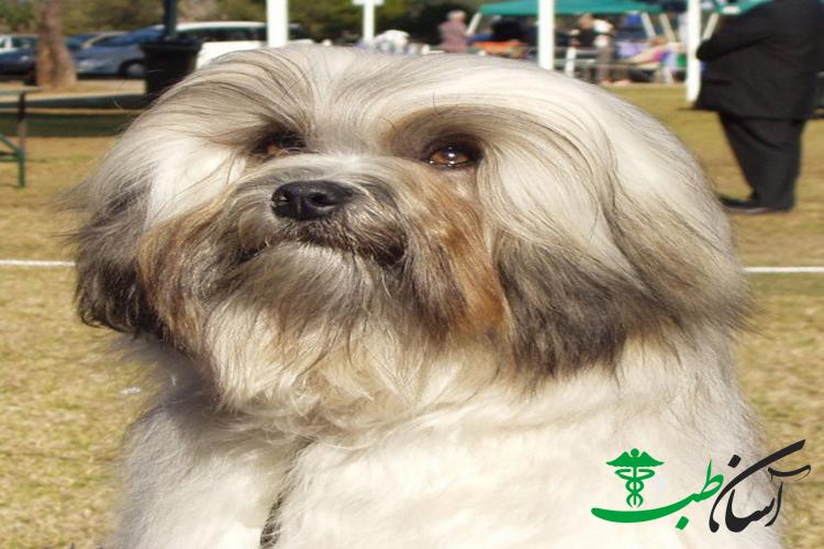 3 نوع بیماری شایع در سگ عروسکی لوچن