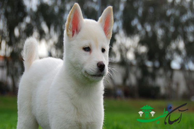 سگکرین جیندو داگ ، تغذیه ، روابط اجتماعی و روش مراقبت از کرین جیندو داگ - آسان طب