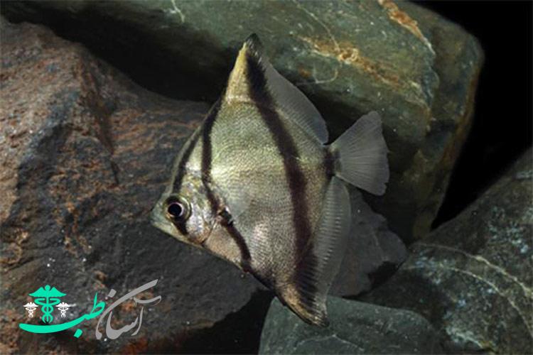ماهی آنجل مونو