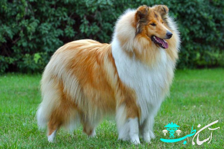 سگ نژاد کالی ، نحوه نگهداری از سگ های انگلیسی نژاد کالی - آسان طب