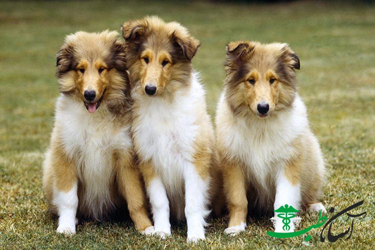 سگ های کالی و 7 نوع بیماری شایع در سگ های کالی Collie Dog - آسان طب