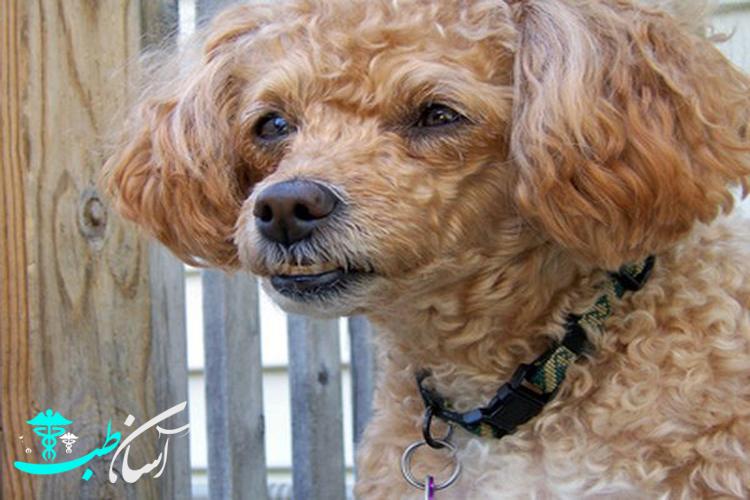 نژاد سگ کوچک کوکاپو، تغذیه و روش صحیح نگهداری از آن - آسان طب
