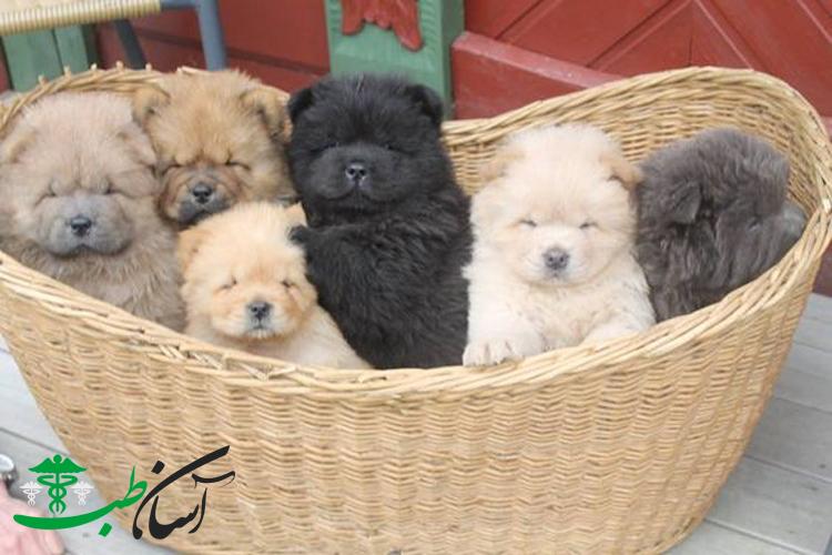 سگ چاو چاو و آشنایی با 2 بیماری شایع در سگ چاو چاو ی اعجاب انگیز - آسان طب