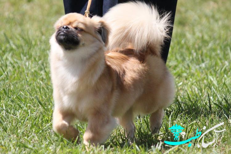 تیبتان اسپانیل و آشنایی با سگهای باهوش و فعال نژاد کوچک آنها و بیماریهای رایج - آسان طب