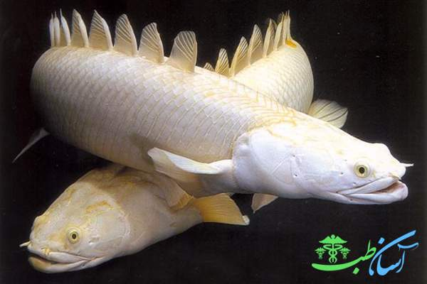 ماهی پلی پتروس