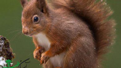 سنجاب ایرانی یک حیوان نیمه اهلی می باشد که به تازگی نگهداری از آن به عنوان حیوان خانگی در کشور عزیزمان ایران رایج گشته است. این جانور گیاهخوار می باشد و انواع میوه جات و دانه های گیاهی، خشکبار و غلاتی نظیر گندم، جو و ذرت غذای سنجاب را تشکیل می دهند. سنجاب ایرانی در جنگلهای بلوط زندگی می کند و چند سالی است که خرید و فروش آن به عنوان حیوان خانگی در کشور افزایش یافته است. سنجابها خیلی زود با انسان ها دوست می شوند و خود را با شرایط زندگی با انسان ها تطابق می دهند. بهترین غذا برای سنجاب دانه های روغنی، خشکباری مثل فندق و گردو، سبزیجات و میوه است. در این مطلب قصد داریم تا با غذای سنجاب خانگیشما عزیزان را بیشتر آشنا نماییم.