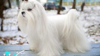 سگ های عروسکی مالتیز