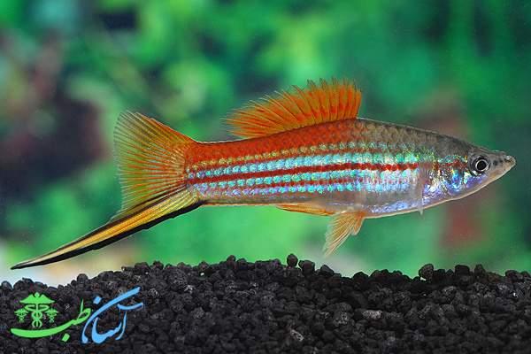 ماهی دم شمشیری