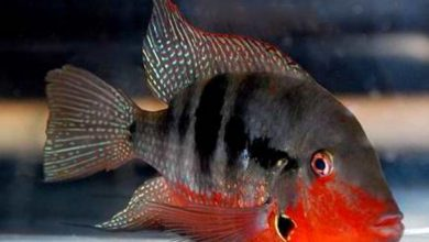 ماهی سیچلاید دهان آتشی