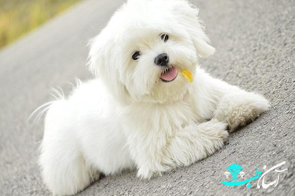 سگ عروسکی نژاد مالتیز