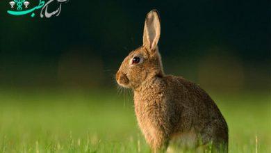 بیماری در خرگوش باردار