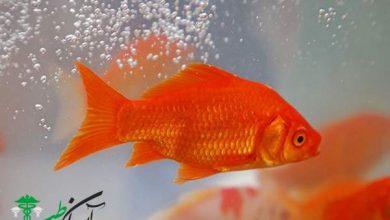 غذای ماهی قرمز ، خانه و نیاز های این ماهی نوروزی