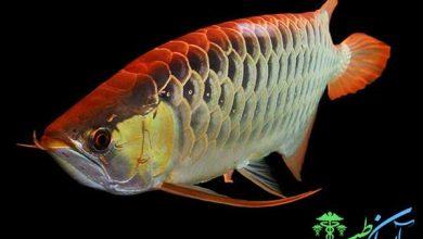 تولید مثل ماهی آروانا سیلور از ماهی های بزرگ آکواریومی