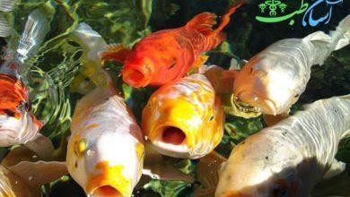 ماهی های کوی