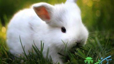 عقیم کردن خرگوش یا اخته کردن