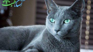 گربه آبی رنگ روسی ( Russian blue )