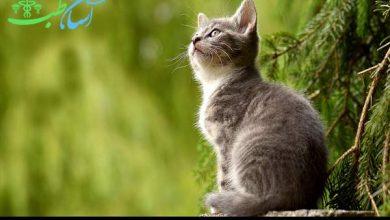 ویروس لوسمی گربه