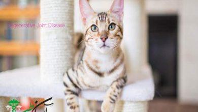 بیماری djd در گربه ها