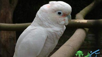 طوطی کاکاتو گوفین
