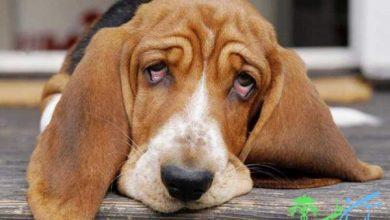 بیماری های کبدی در سگ ها ، دلایل و نشانه های آنها