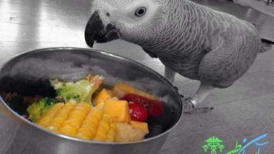 تغذیه طوطی های خاکستری آفریقایی