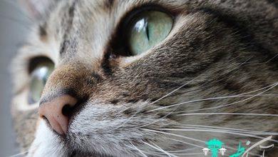 سینوزیت در گربه ها